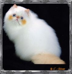 flame point persian cat - Google Search
