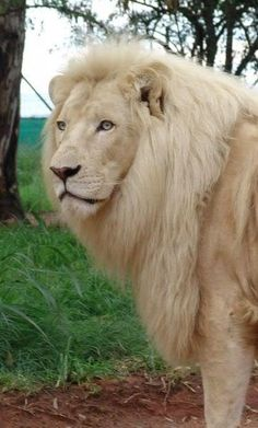 A very beautiful white lion. Beautiful Creatures, Animals Beautiful, Big Cats, Cats And Kittens, Animals And Pets, Cute Animals, Wild Animals, Baby Animals, Grand Chat