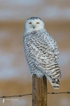 Beautiful Snowy Owl near Calgary, Alberta, Canada. Photo by Artur Stankiewicz Photography. More Snowy Owls here --> http://owlpag.es/SnowyOwl