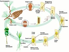 SparkNotes: The Life Cycle of Plants: Alternation of Generations- Gymnosperm