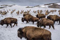 The Buffalo People visit the Elk People--Mountain Vagabond : Photo
