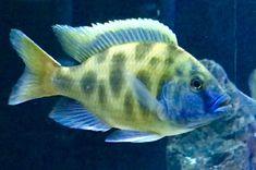Cichlid Aquarium, Cichlid Fish, Aquarium Fish, Malawi Cichlids, African Cichlids, Colorful Fish, Tropical Fish, Tropical Aquarium, Freshwater Aquarium