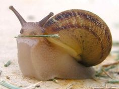 Did you know snails have teeth? Not only is it true, but they have 80 or so rows of them! Learn more w/ NPR. (photo: all-creatures.org)