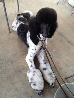 Everything we all admire about the Proud Poodle Puppies Poodle Grooming, Dog Grooming, Teddy Bear Poodle, Poodle Haircut Styles, Yorkie Puppy, Poodle Puppies, Animal Magazines, Poodle Cuts, Retriever Puppy