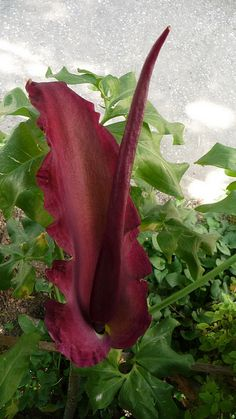 The Voodoo Lily.  It must be related to the corpse flower, but it smells bad too. I know because there some in my backyard that come up every year. They were popular in the 1960s in Southern California.