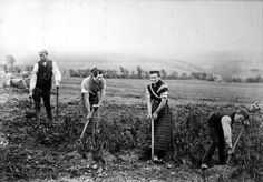 Tattie hokers in Merkland Farm, Sorn, Ayrshire (1890s?) (John Clark Maddison)