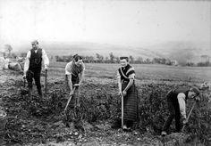 Tattie hokers in Merkland Farm, Sorn, Ayrshire (1890s?) (John Clark Maddison)