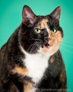 """Эди. """"Ее размер - не препятствие для активности: играть она может часами. Она особенно искусна в ловле мышей!"""". Фотограф Пит Торн, некогда уже создавший фотокнигу о собаках, теперь представляет общественности новую серию своих фото. Она называется """"Толстые коты"""". Каждый портрет пушистого толстячка снабжен небольшой историей из его жизни или характеристикой его самого."""