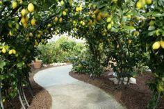 A citrus garden dedicated to Pinocchio. It is a botanical garden in a greenhouse containing over 200 varieties of citrus plants. Citrus Garden, Fruit Garden, Amazing Gardens, Beautiful Gardens, Espalier Fruit Trees, Orchard Design, Sensory Garden, Citrus Trees, Garden Cottage