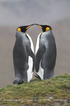 Penguin kiss by © Xpanding Horizons. @Hillary Salvaggione you need to add this pic to your boards for you & the Mr!