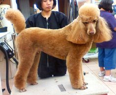 Standard Poodle Cuts | Standard Poodle / Puppy Cut | Flickr - Photo Sharing!
