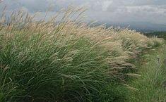 miscanthus (sinensis) herbe a croissance rapide (idéale pour transformer le sol en foret durable a feuilles persistantes)
