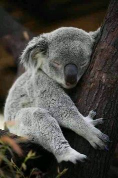 Amazing wildlife - Sleeping Koala Bear photo #koalas
