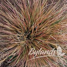 Bronze Veil Tufted Hair Grass - Deschampsia caespitosa 'Bronzeschleier' | Bylands Nurseries Ltd.