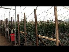 My visit to the farm where we export our Roses.