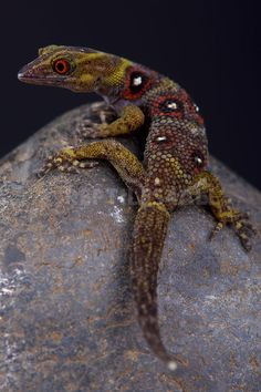 Daudin's Gecko (Gonatodes daudini)