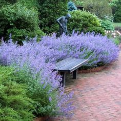 Nepeta Walkers Low is a high performing, drought tolerant groundcover blooming from spring into fall! The excitement begins in late spring when a profusion of fragrant, trumpet-shaped lavender- blue flowers burst into bloom. Fragrant, grey-green foliage is an added plus! Vigorous and dependable, Nepetas or catmint keep blooming for months on end. This terrific Sun Loving Groundcover performs remarkably in heat, humidity, and the punishing summer sun. Easy to care for,-- just shear bac...