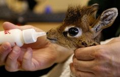 MISLABELED This is NOT a baby giraffe! It's a baby Dik Dik. A very small species of antelope. A baby giraffe is tall at birth.this Dik Dik won't even reach tall as an adult. Cute Creatures, Beautiful Creatures, Animals Beautiful, Cute Baby Animals, Funny Animals, Wild Animals, Newborn Animals, Animal Pictures, Cute Pictures