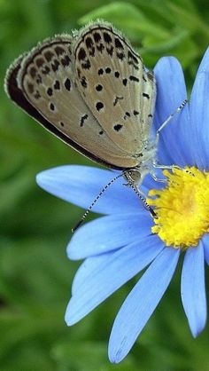 butterfly on yellow center pollen on blue flower season is Spring Time