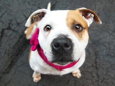 TO BE DESTROYED - 03/21/15 Manhattan Center -P  My name is CHASEY. My Animal ID # is A1029839. I am a female white and brown am pit bull ter mix. The shelter thinks I am about 7 YEARS old.   For more information on adopting from the NYC AC&C, or to  find a rescue to assist, please read the following: http://urgentpetsondeathrow.org/must-read/