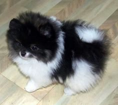 Sweet little Pomeranian
