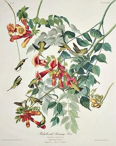 Ruby Throated Hummingbird, Trochilus Colubris by John James Audubon 1827