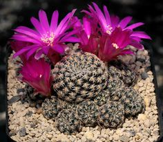 Sulcorebutia augustinii PHA0285 Totora