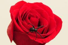 Suzyr's Rose