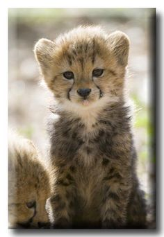 cheetah-chaser: Cheetah Cubs by ddovala Cute Funny Animals, Cute Baby Animals, Animals And Pets, Cute Cats, Wild Animals, Cheetah Cubs, Tiger Cubs, Tiger Tiger, Bear Cubs