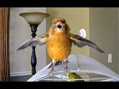 Pets Canary Birds chirping singing acting funny - YouTube