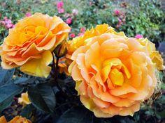 Beetrose Goldelse ® Züchter Rosen Tantau 1999