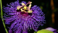 Passion Flower 'Inspiration'