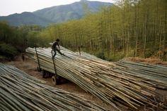 【時事 current events】 竹にCO2削減効果ないとの研究成果 | ナショナルジオグラフィック日本版サイト