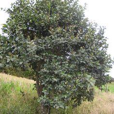 Chuque | Viburnum triphyllum Bentham