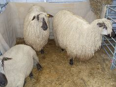 Teeswater Sheep, via Flickr.