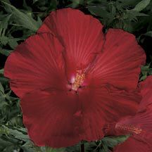 Lord Baltimore Hardy Hibiscus | Hibiscus | Perennial Plants | Jung Garden and Flower Seed Company