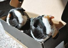 Matching pair? Guinea pigs actually come in a variety of sizes, shapes, colors and fur lengths! Discover how to be a #GreatOne to your guinea pig by clicking here!