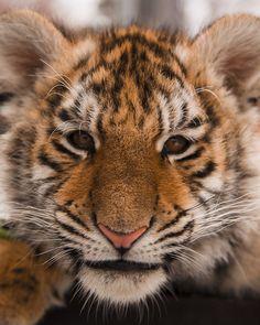 Tiger Cub @ Jungle Cat World   Flickr - Photo Sharing!