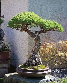 Bonsai trees are an exotic accent to any home décor