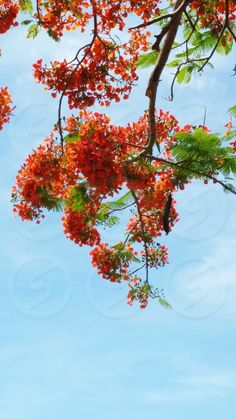 Snapwire Custom Photos, Royal Poinciana, Flamboyant tree, Flame tree by Jill Wainright Tree Tatto, Pride Of Barbados, Flame Tree, Yellow Plants, African Theme, Marigold Flower, Parts Of A Plant, Flowering Shrubs, Flower Aesthetic
