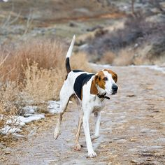 treeing walker couonhound photo | BBS Breed Spotlight: Treeing Walker Coonhound | Best Bully Sticks ...