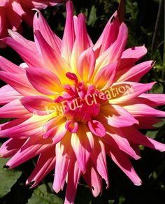 Bursting with color Dahlia photograph and or by AJoyfulCreation, $10.00