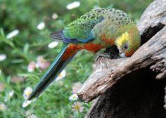 Love Birds, Beautiful Birds, Australian Parrots, Bird Identification, Parrot Bird, Indigenous Art, Cockatoo, Colorful Birds, Parakeet