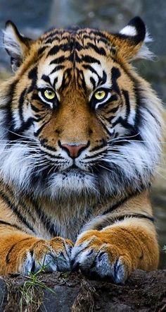 Sumatran Tiger...| he's got a beard!!