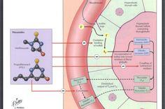 Antithyroidal Drugs Mechanism Of Action:
