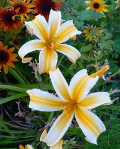 Hemerocallis 'Asiatic Pheasant' photo by HemNorth. A knockout daylily, with coloration more like Oriental lilies and excellent companions. Flowers Perennials, Planting Flowers, Flowers Garden, Exotic Flowers, Beautiful Flowers, Purple Flowers, Daylily Garden, Peonies Garden, Garden Pictures