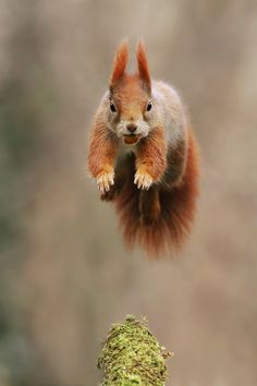 Acrobat - Red Squirrel