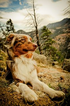 mountain dog, reminds me of Scout