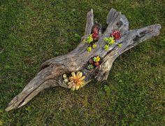 Succulent in hollow log.