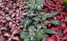 Fitonia Indoor Plants Low Light, Outdoor Plants, Potted Plants, Garden Plants, Plantas Indoor, Nerve Plant, Pink Plant, Tropical Plants, Plant Care